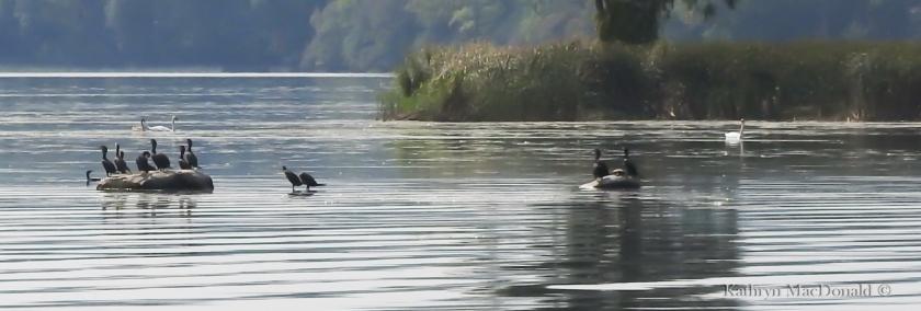 Cormorants-swans detail BoQ LR