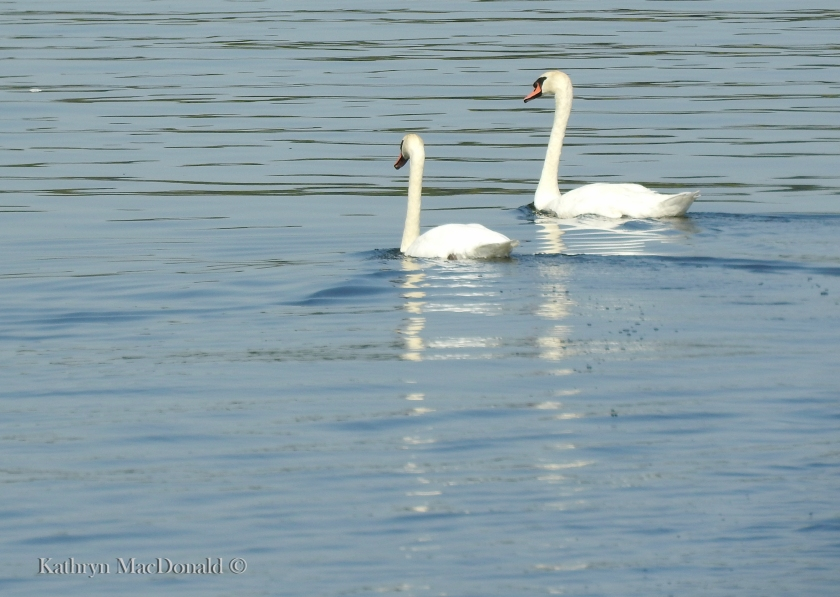 Two swans-BoQ